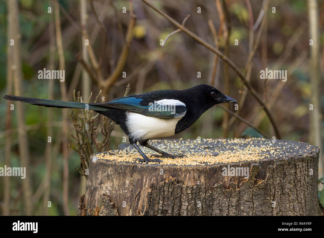 Magpie (Pica pica) familiar black and white crow with long wedge shaped tail and oily blue green sheen on wings and tail feeding on seed on a stump. - Stock Image