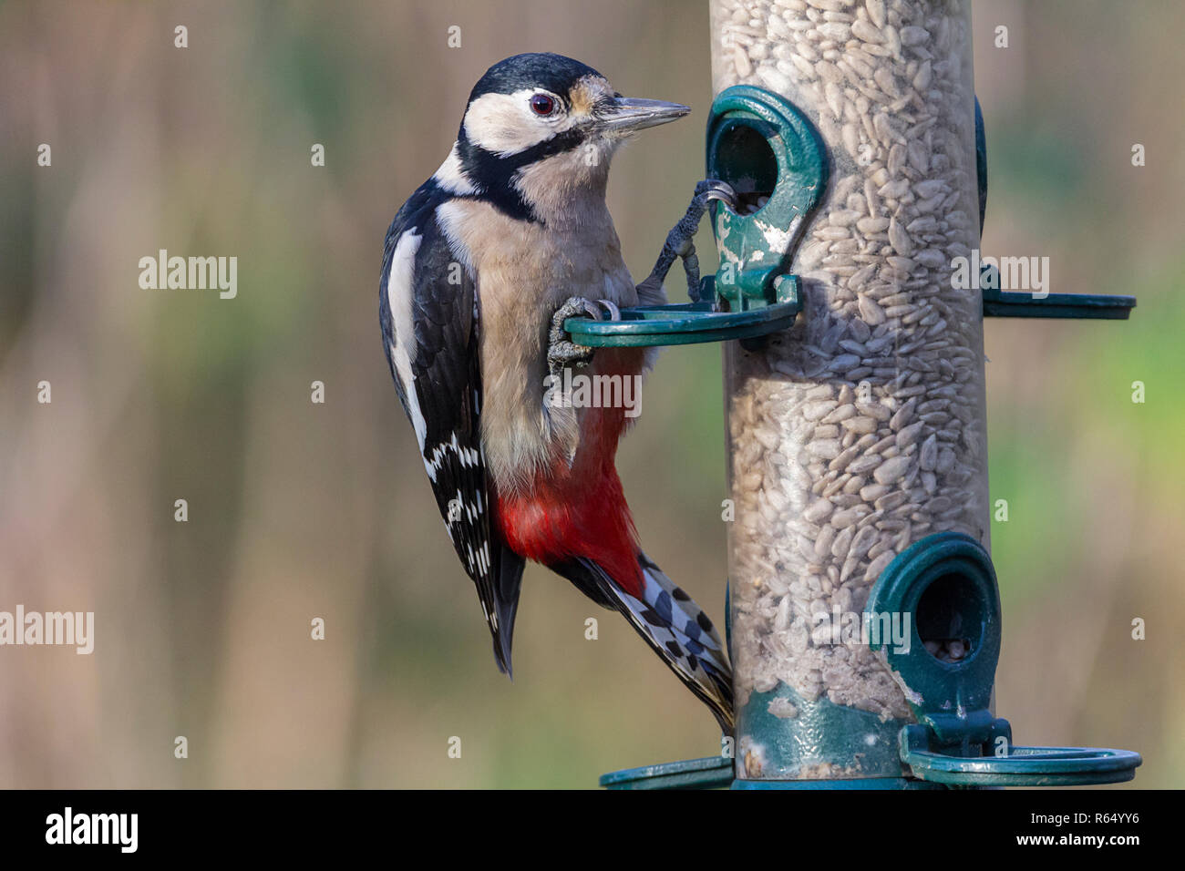 Great spotted woodpecker ( Dendrocopos major) feeding from a bird feeder on sunflower seed hearts. Black and white plumage with crimson under tail. - Stock Image
