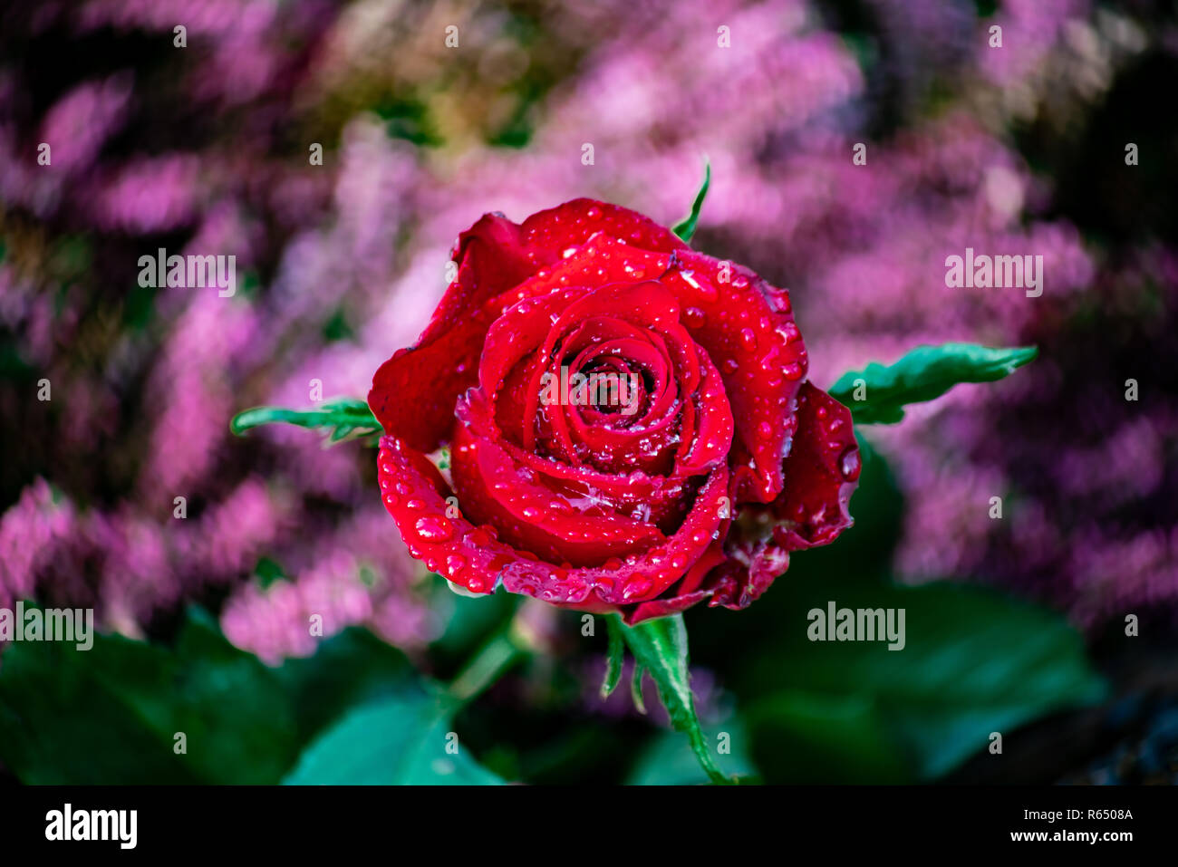Close up of a perfect red rose with shiny raindrops Stock Photo