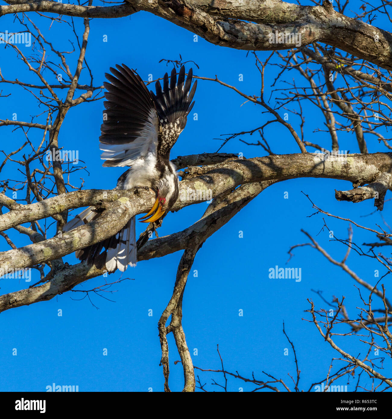 Yellow billed hornbill (Tockus leucomelas) displaying in a tree as part of a courtship, Greater Kruger National Park, South Africa - Stock Image