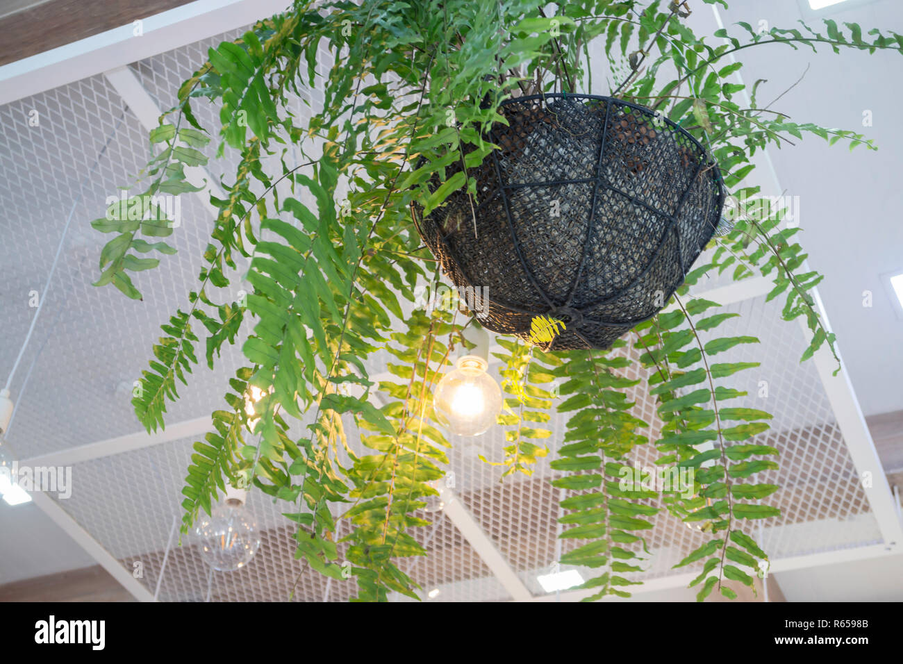 Fern In Plant Pot Hanging On Ceiling Stock Photo 227539771 Alamy