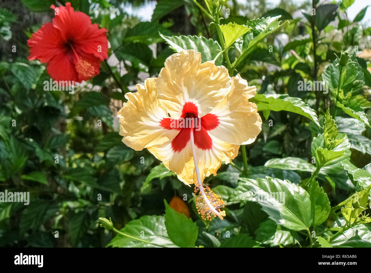 Hibiscus Flowers In Different Colors Stock Photo 227540634 Alamy