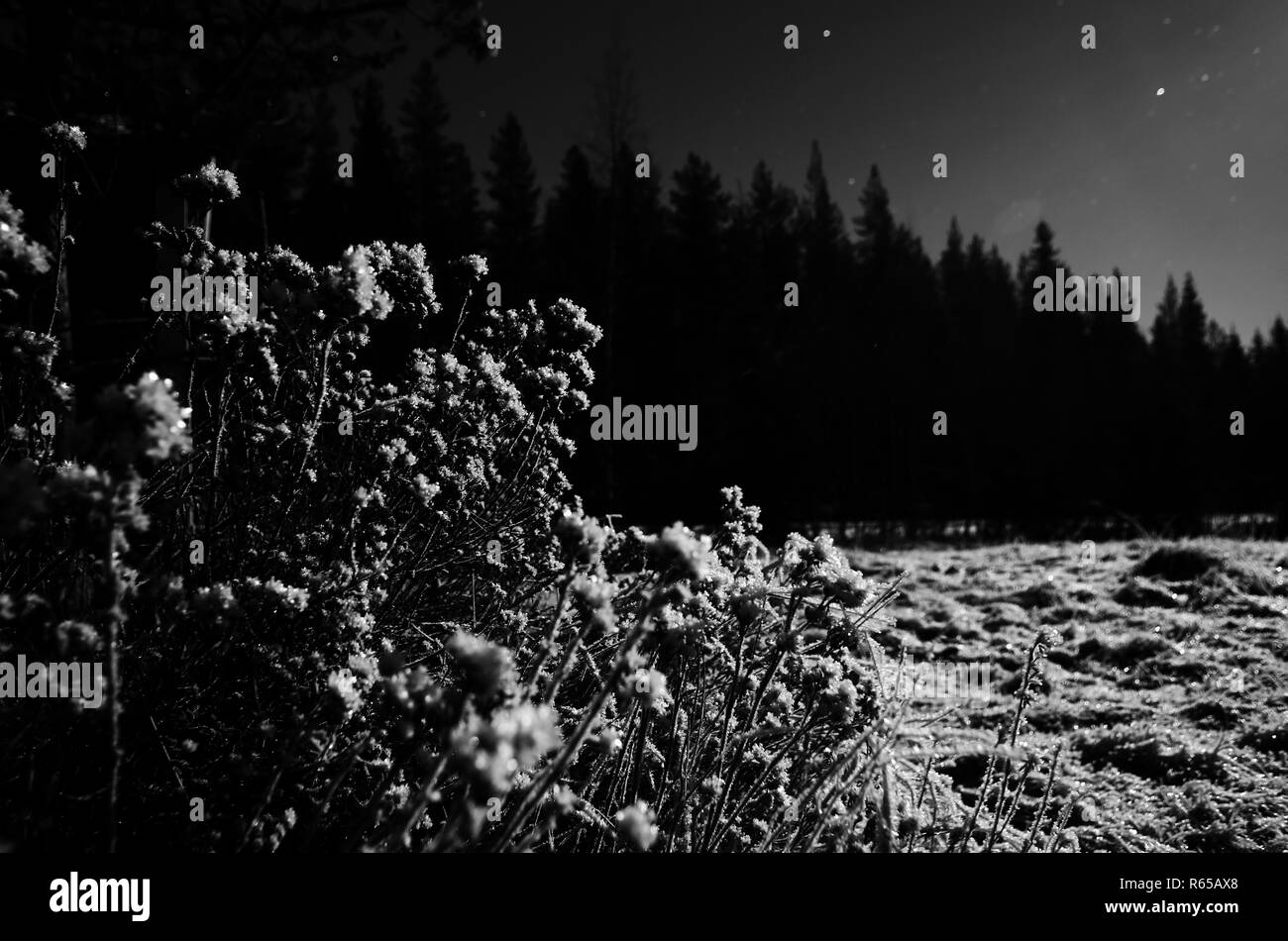 Black and white image of shrub in nordic winter night. - Stock Image