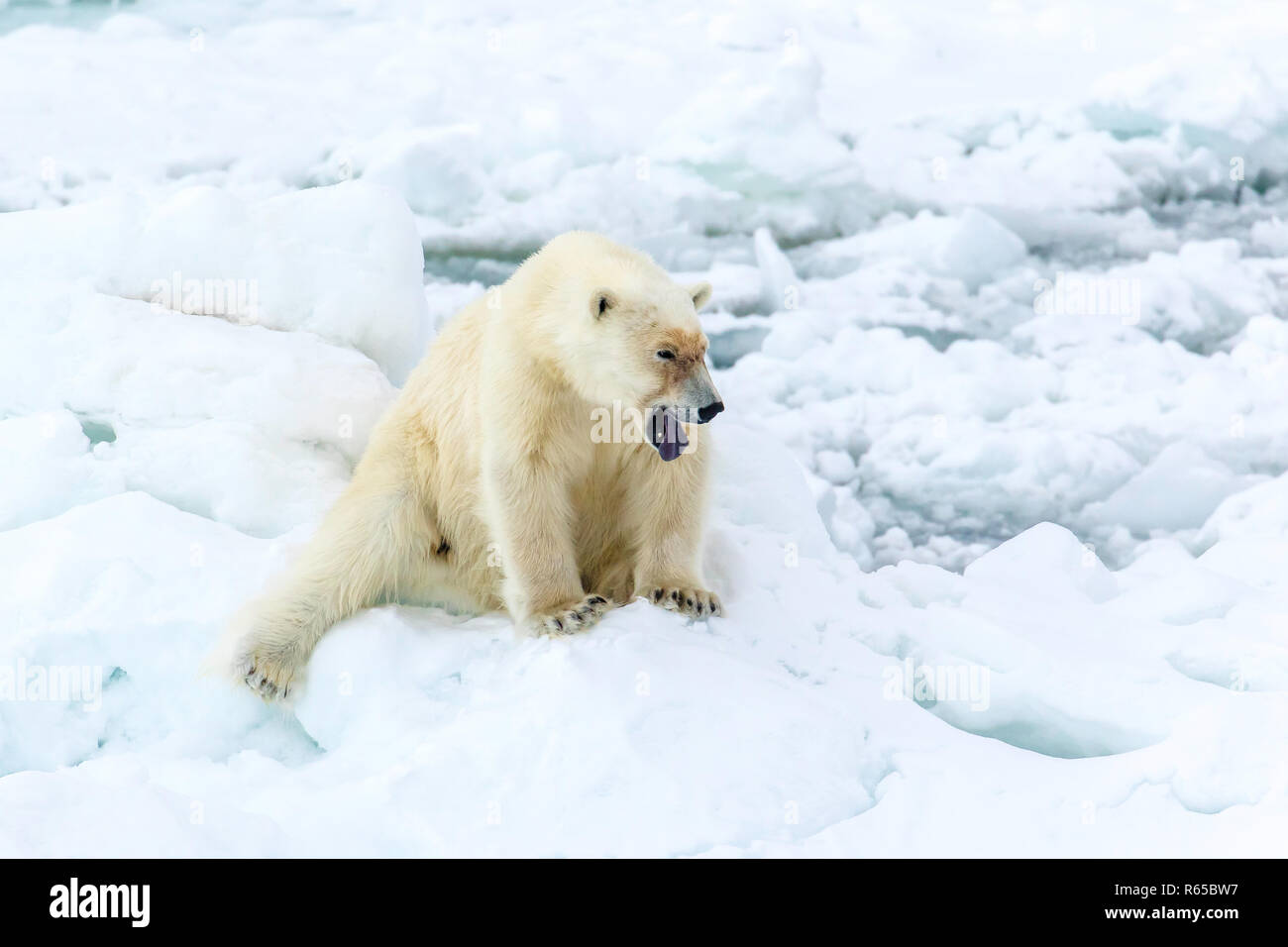 An adult polar bear, Ursus maritimus, with mouth open, showing tounge  Eastern coast of Edgeøya, Svalbard, Norway. - Stock Image