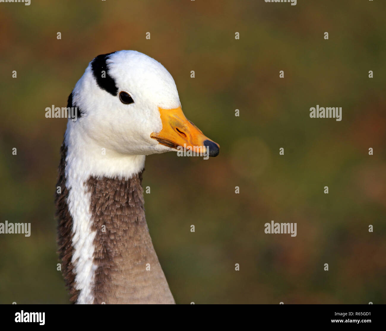 striped goose anser indicus - Stock Image