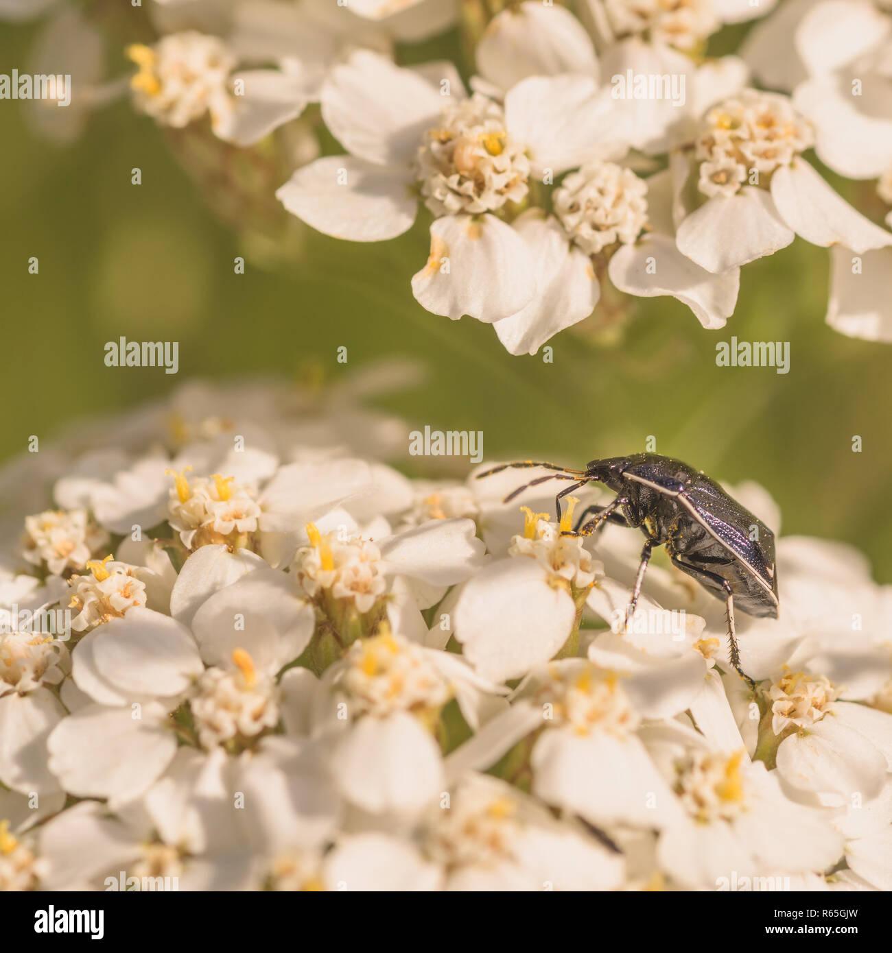 White Margined Burrower Bug - Stock Image