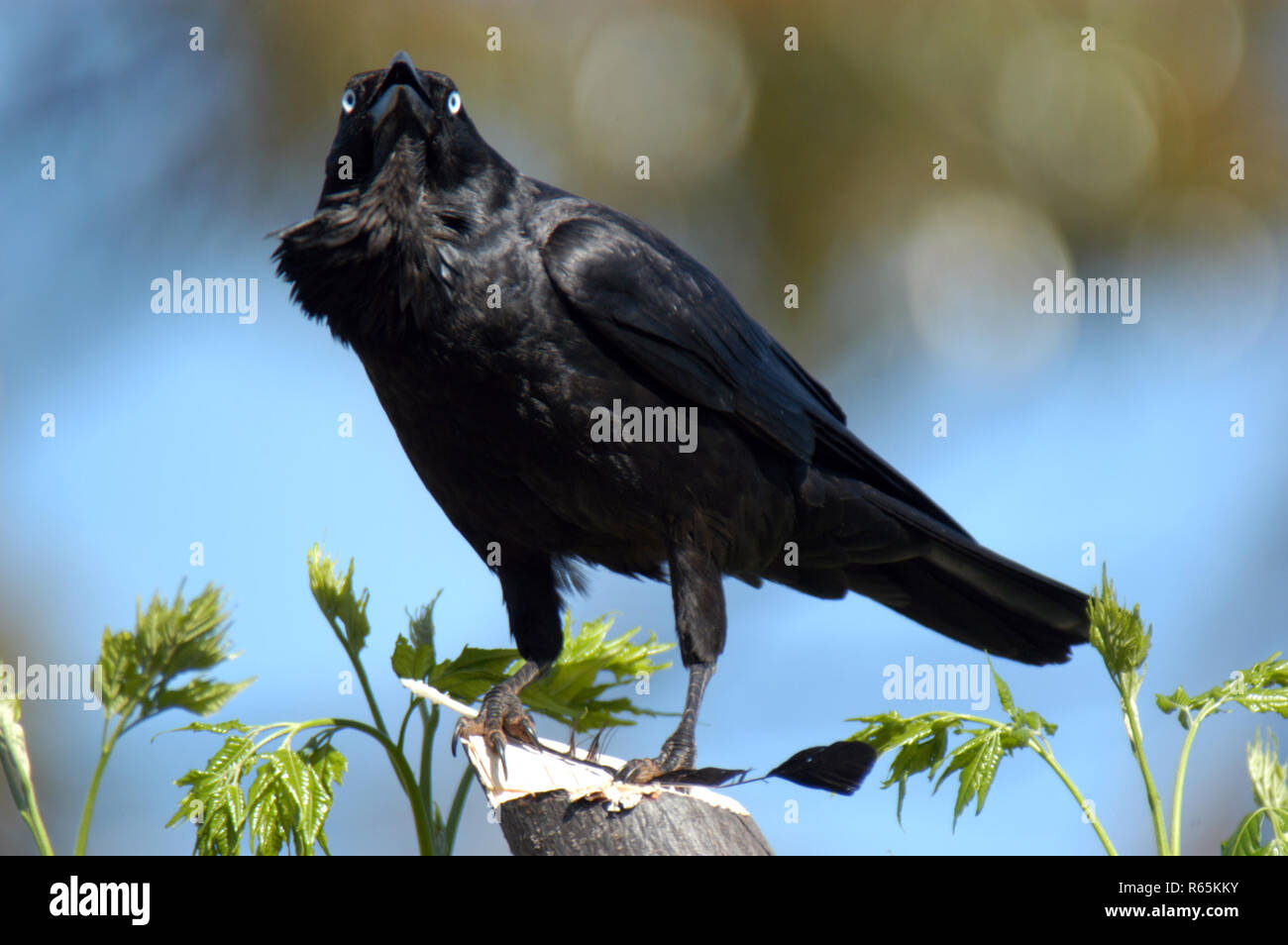 AUSTRALIAN RAVEN (CORVUS CORONOIDES) WESTERN AUSTRALIA IS DISTINGUISHED FROM THE AUSTRALIAN CROW BY IT'S THROAT HACKLES. - Stock Image