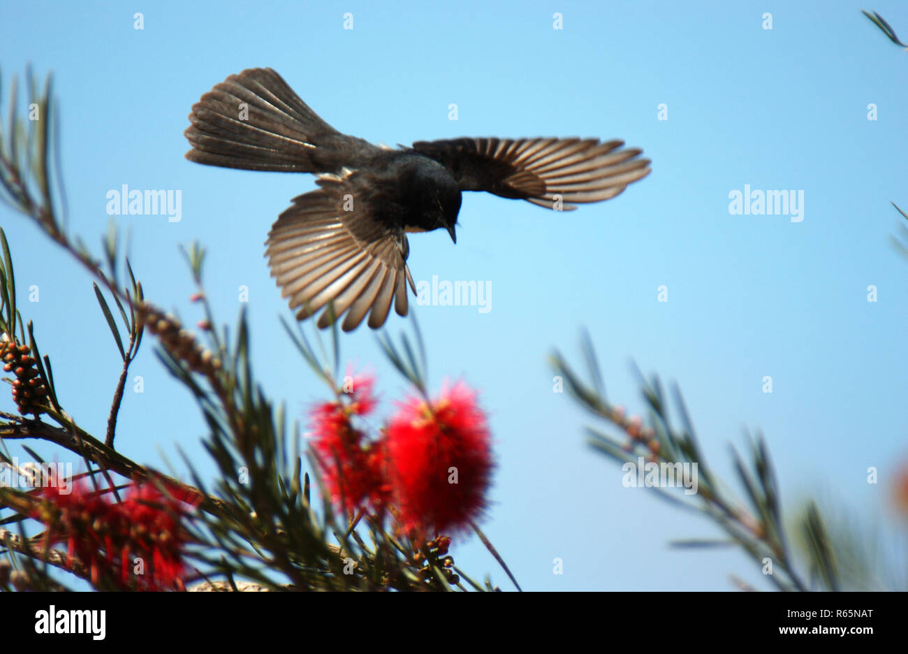 Willy Wagtail (Rhipidura leucophrys) seen here in flight is a passerine bird native to Australia. Western Australia. - Stock Image