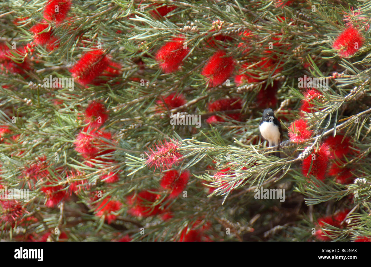 Willy Wagtail (Rhipidura leucophrys) seen here in red Bottlebrush bush. Western Australia. - Stock Image