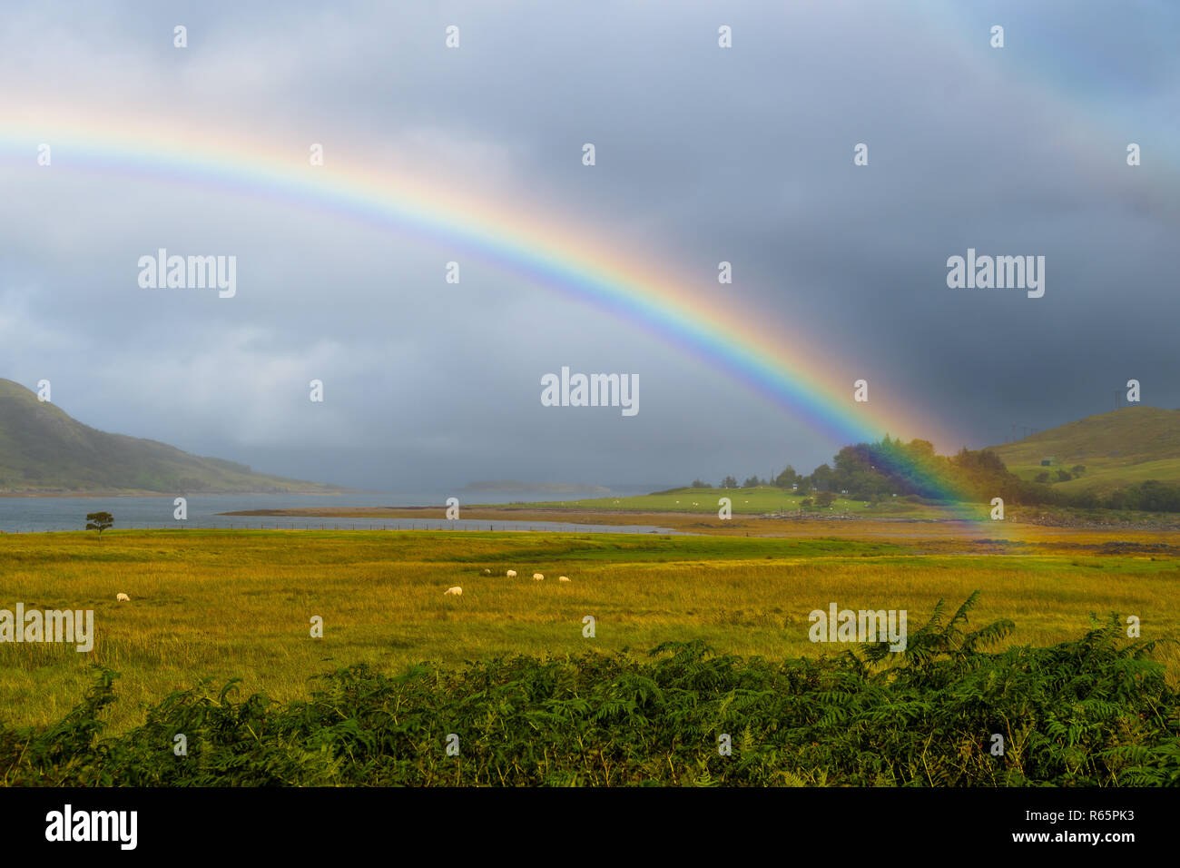 Colorful Rainbow Over Fresh Pasture With Sheep On The Isle Of Skye In Scotland - Stock Image