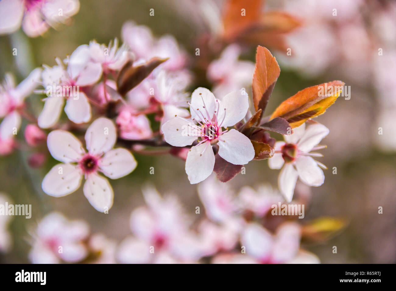Spring Cherry blossoms on a branch pink flowers, on green natural or sky background Stock Photo