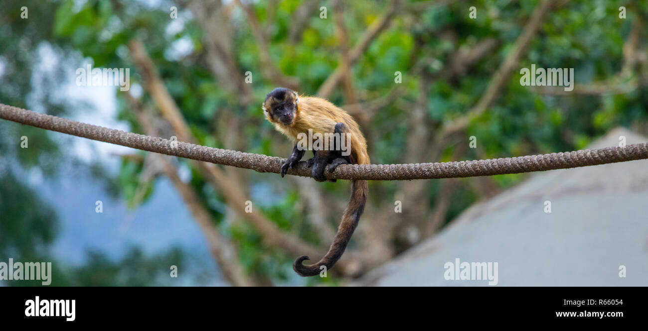 A Brown Spider Monkey. - Stock Image