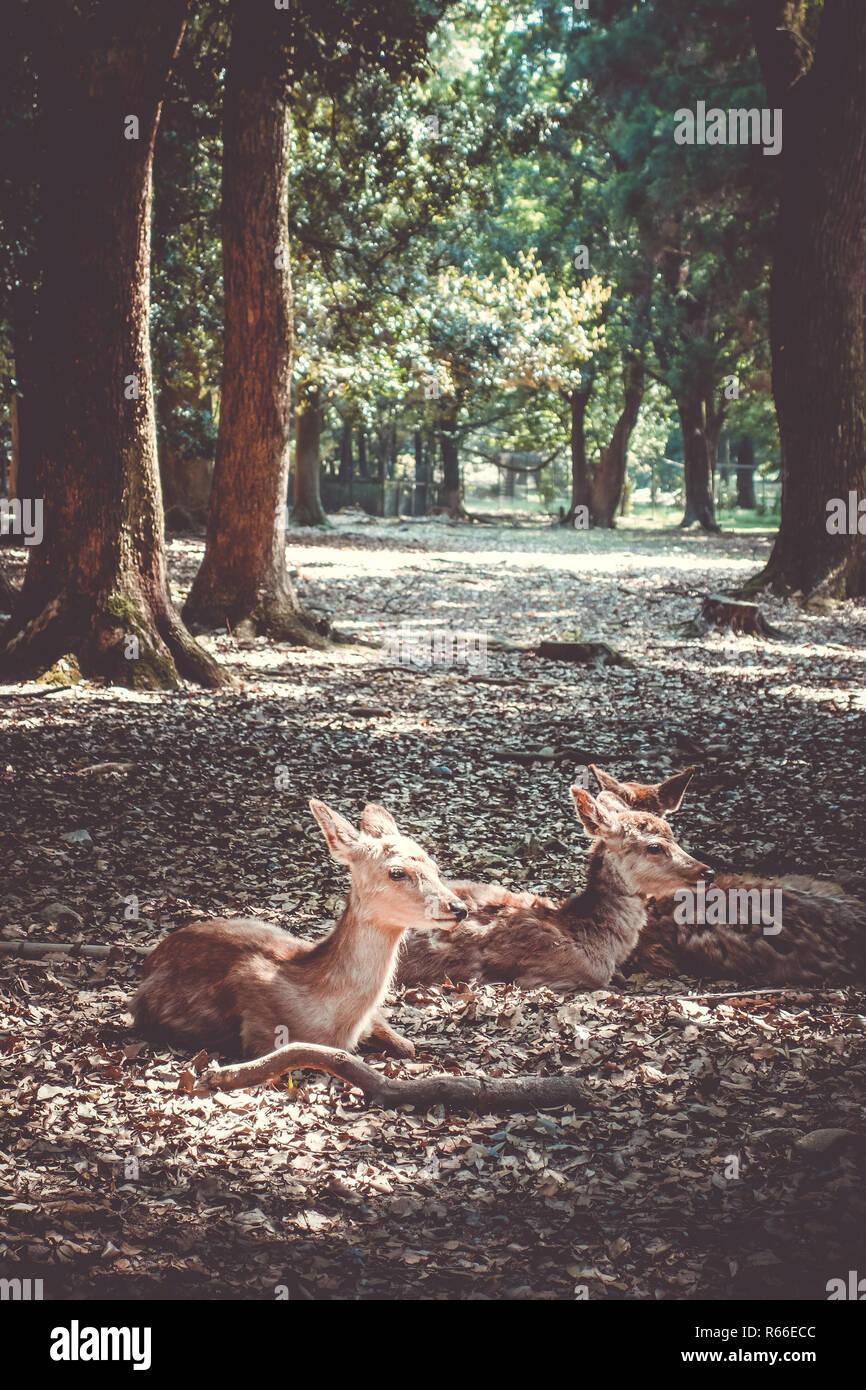 Sika deers Nara Park forest, Japan - Stock Image