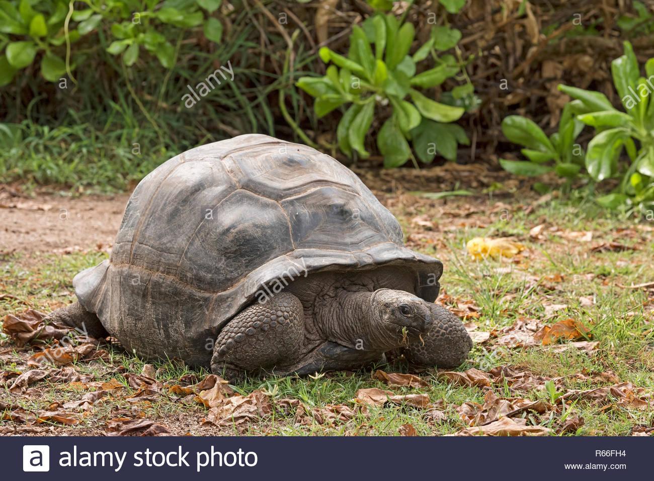 seychelles bird-iceland-31953 - Stock Image