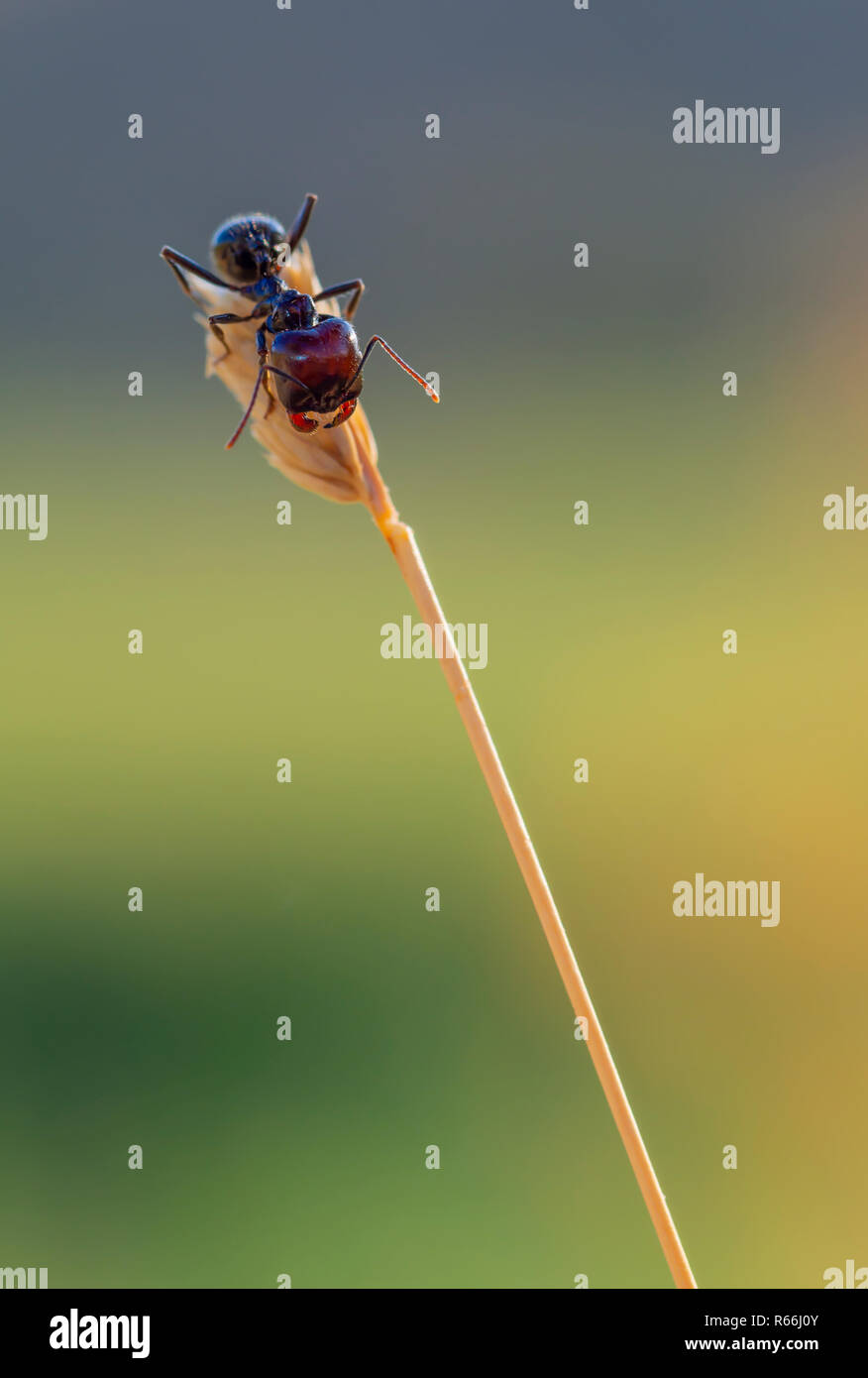 Ant on the top of the spike - Stock Image