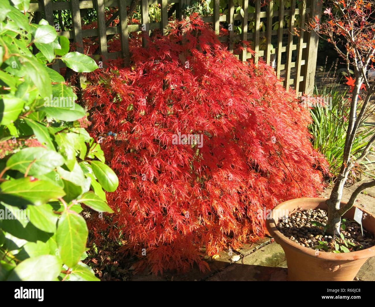 A glorious red acer shining in the autumn sunshine against the fence, in an English garden, November 2018 - Stock Image
