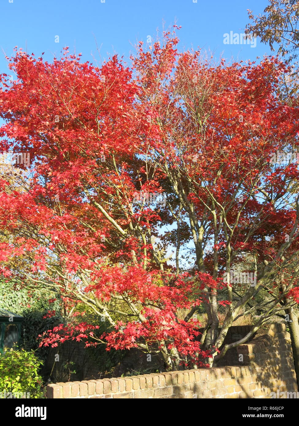 A glorious red acer shining in the autumn sunshine in a bright blue sky, in an English garden, November 2018 - Stock Image