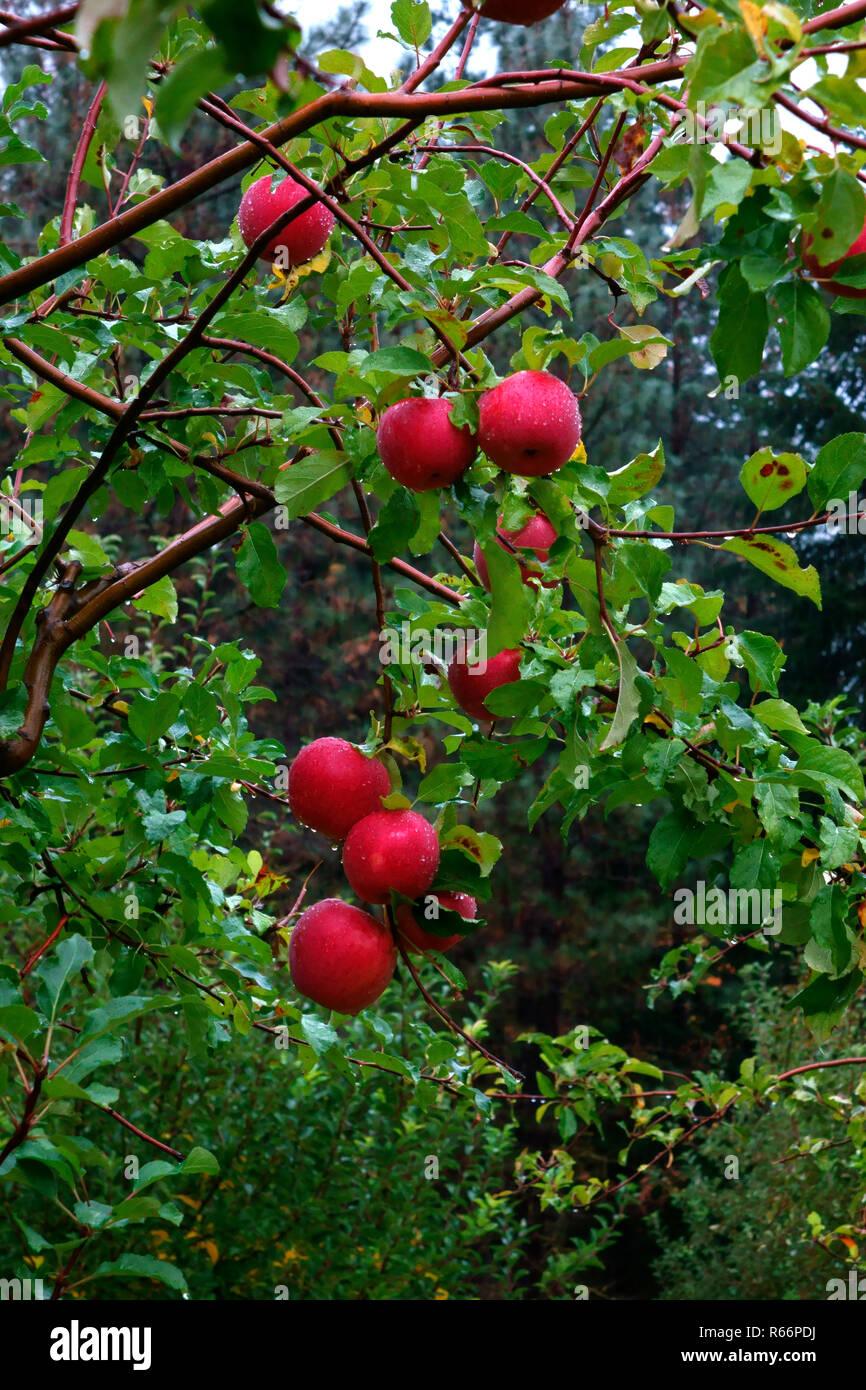 Ripe apples in Stehekin's Buckner Orchard. - Stock Image