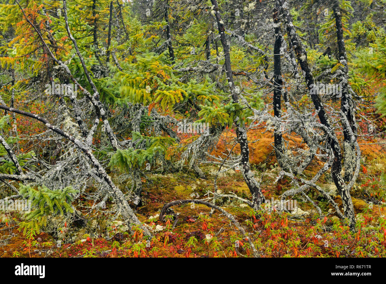 Barrenlands tundra plant community- Lichen covered dwarf spruces, Arctic Haven lodge on Ennadai Lake, Nunavut Territory, Canada - Stock Image