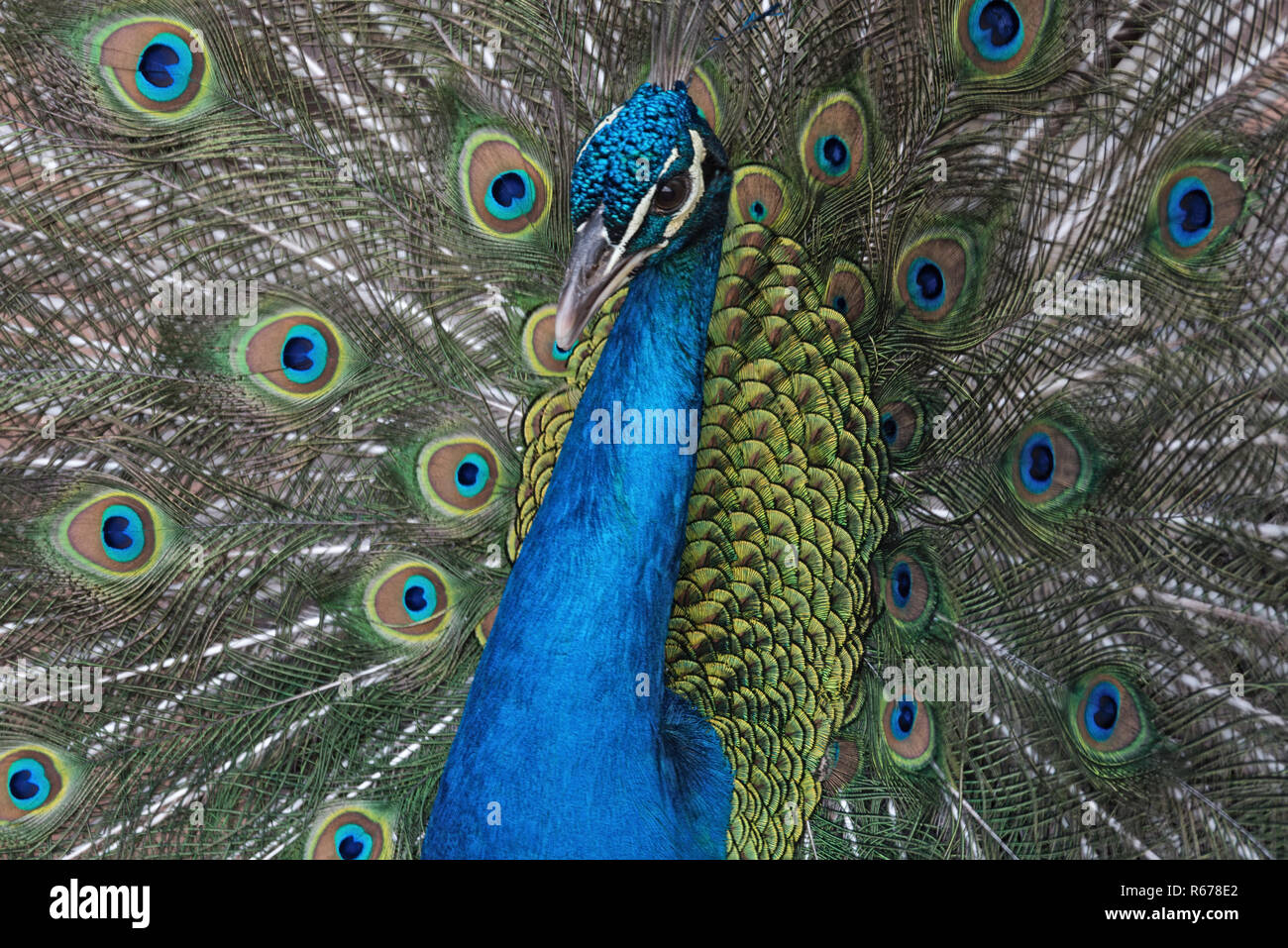 Portrait of an Indian peafowl or the blue peafowl - Stock Image