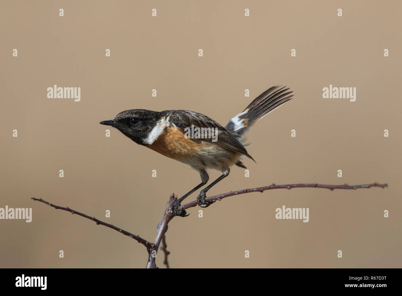 European stonechat (Saxicola rubicola) male perched in shrub displaying in spring - Stock Image