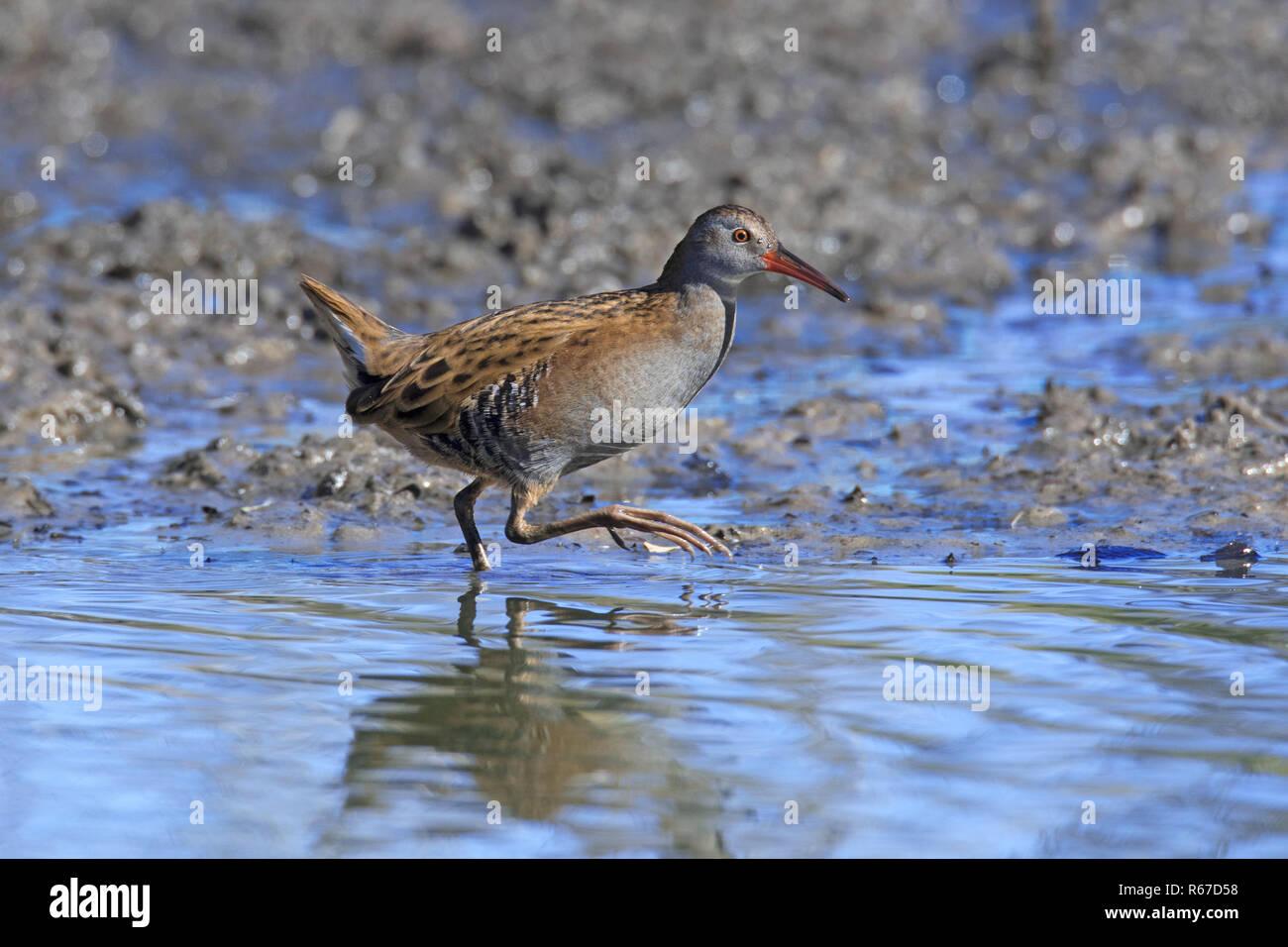 Water rail (Rallus aquaticus) foraging in shallow water in wetland / marsh / marshland - Stock Image