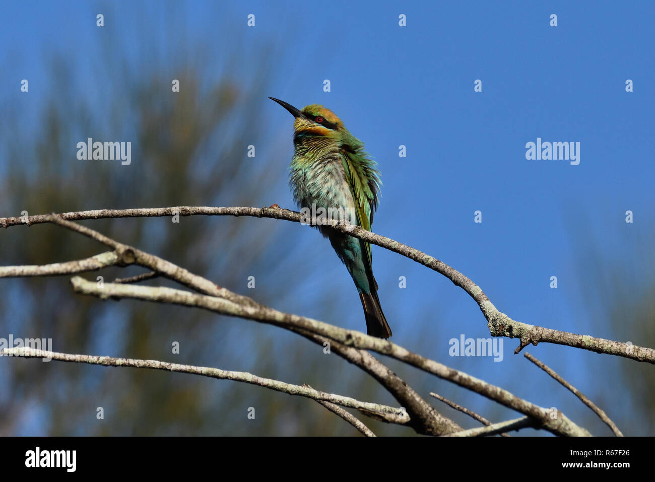 An Australian, Queensland Female Rainbow Bee-eater ( Merops ornatus ) perched on a tree branch with its feathers all fluffed up - Stock Image