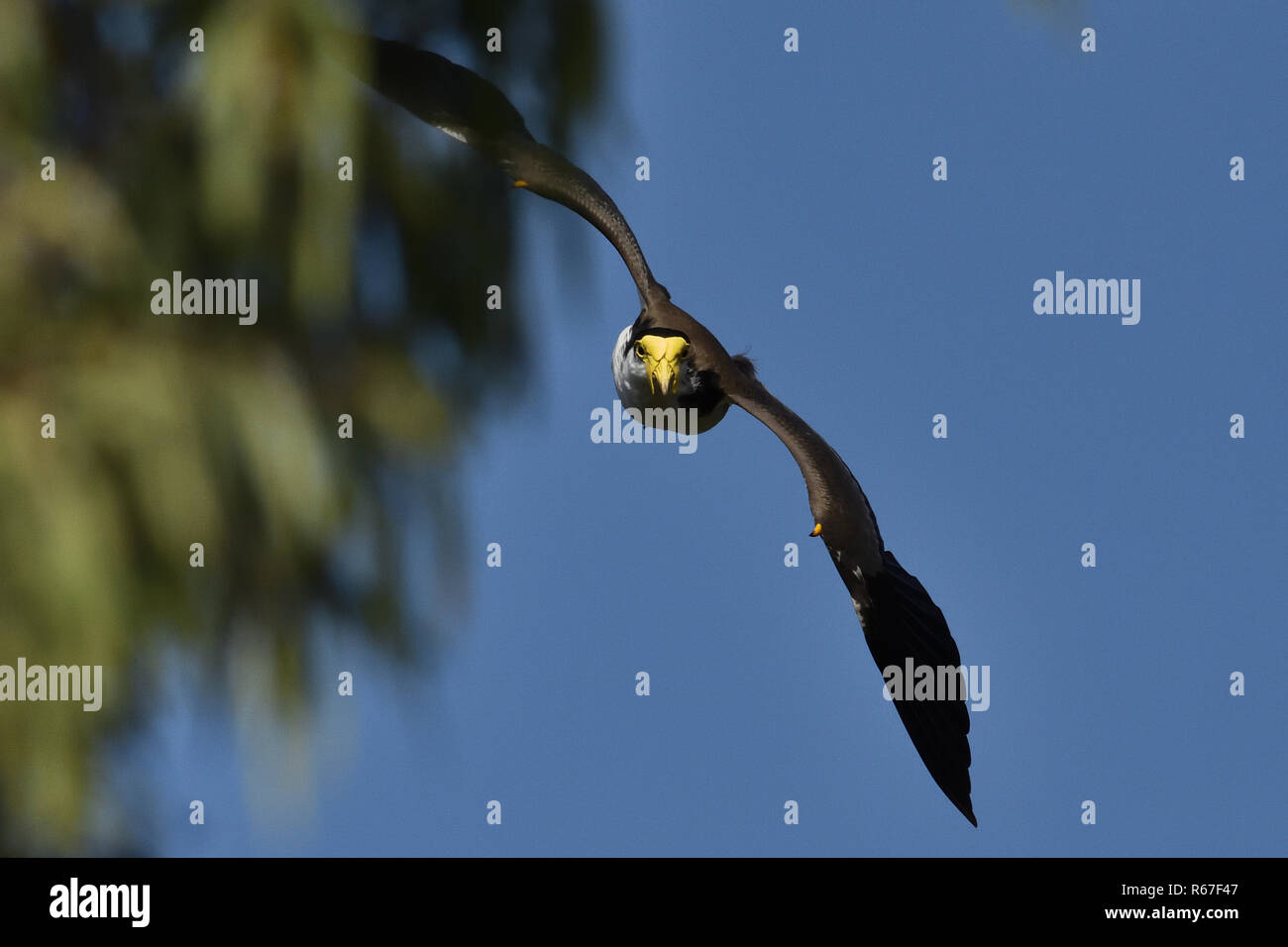 An Australian, Queensland Masked Lapwing ( Vanellus miles ) swooping down from behind a tree Stock Photo