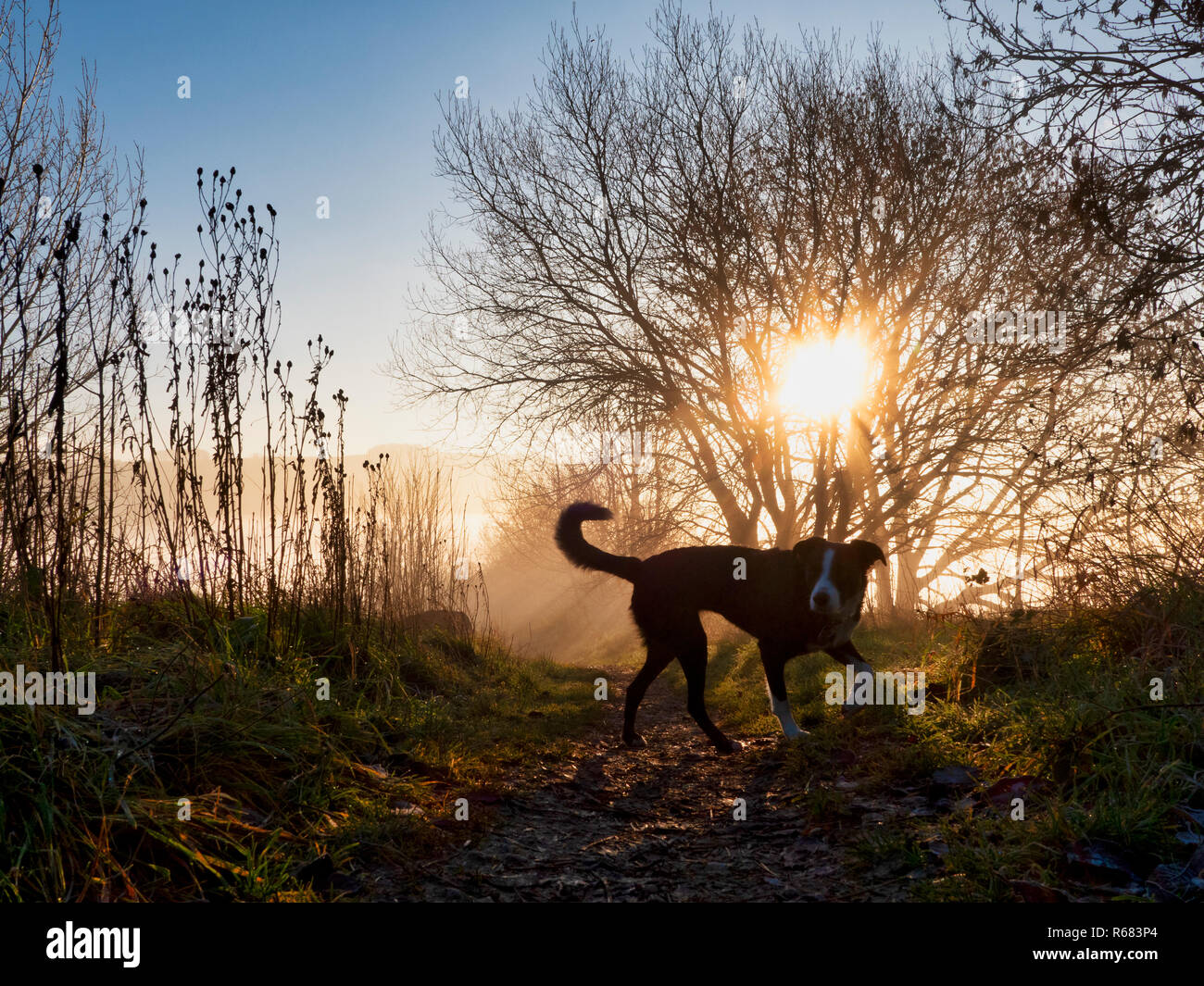 Wirksworth, Derbyshire Dales. 4th Dec 2018. UK Weather: Border Collie dog going for a walk off lead on a cold winter morning during a spectacular sunrise with cloud inversion above Wirksworth in the Derbyshire Dales, Peak District National Park Credit: Doug Blane/Alamy Live NewsStock Photo
