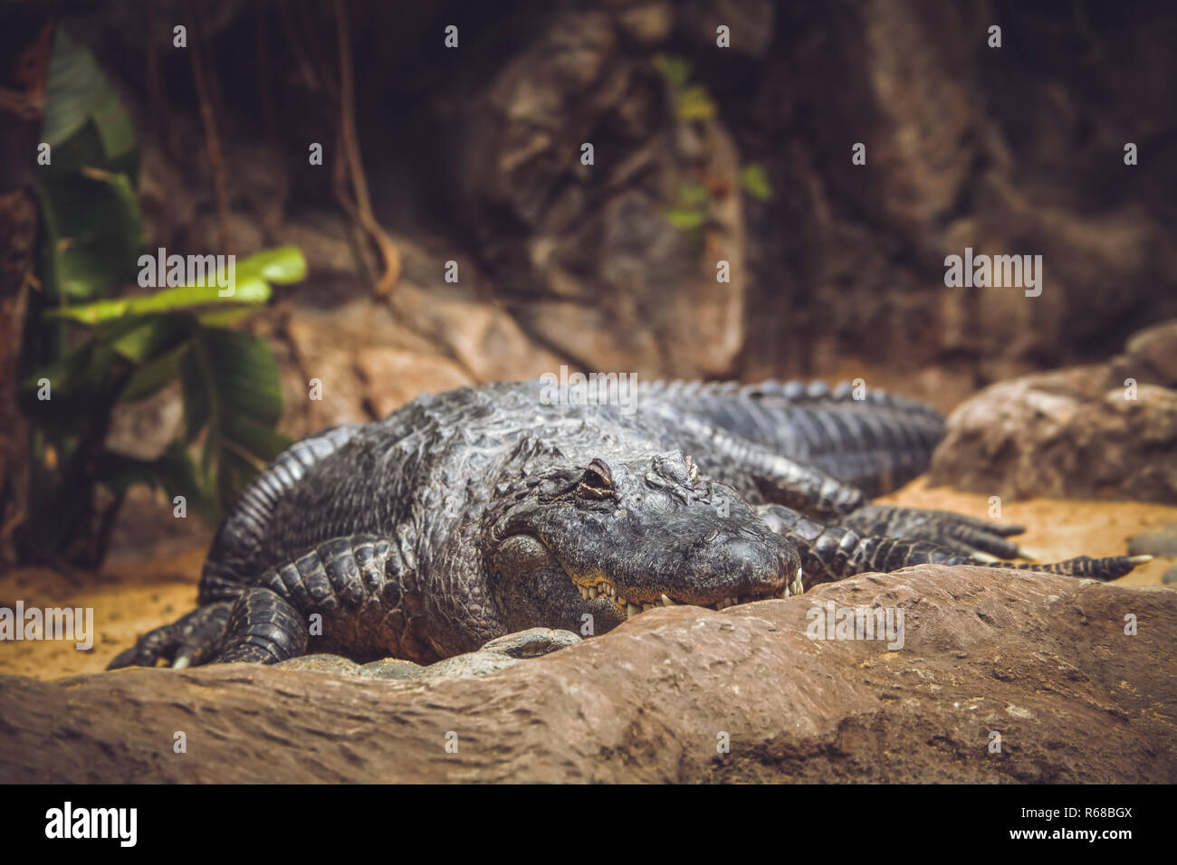 Alligator in the zoo - Stock Image