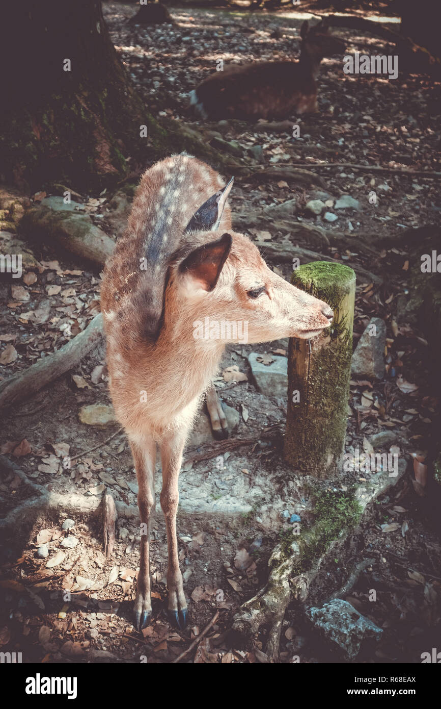 Sika fawn deer in Nara Park forest, Japan - Stock Image