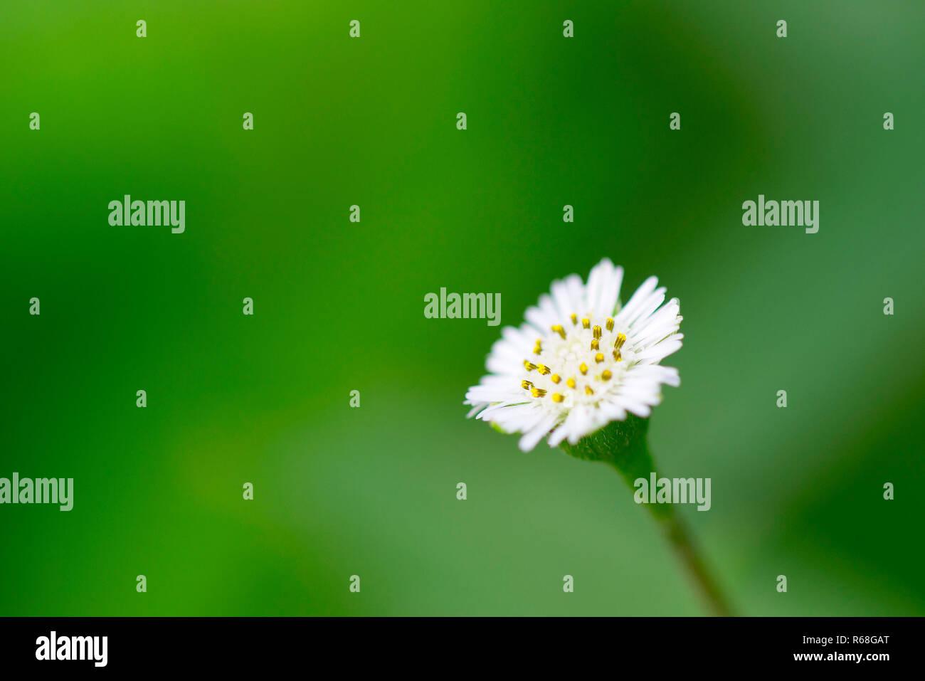 Tiny White Flowers With A Yellow Center Stock Photos Tiny White