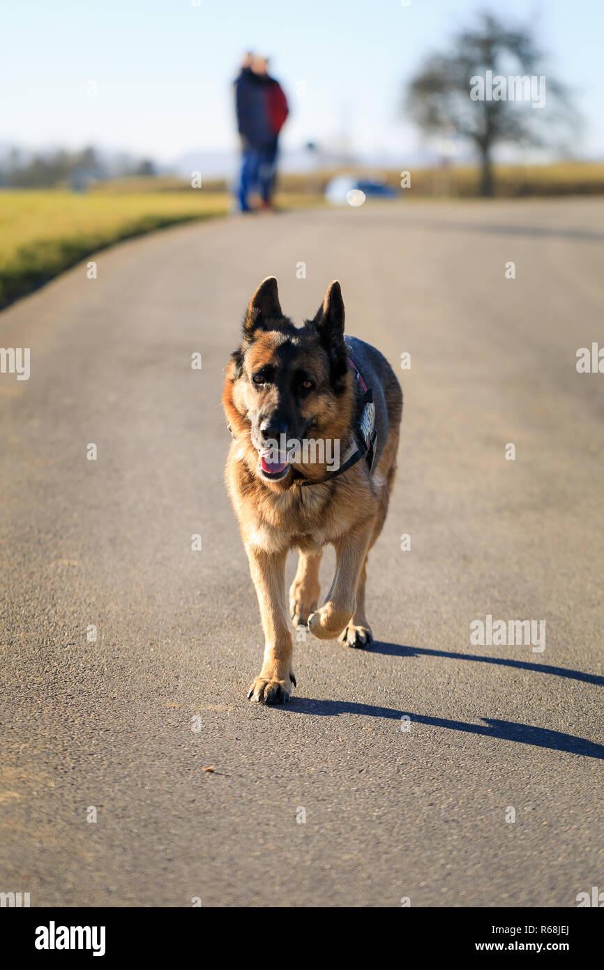 german shepherd dog is running on street towards the camera, germany - Stock Image