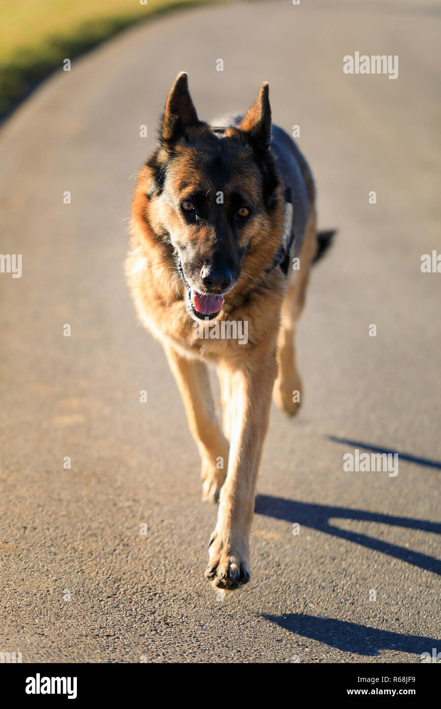german shepherd dog is running on street towards the camera, germany - Stock Image