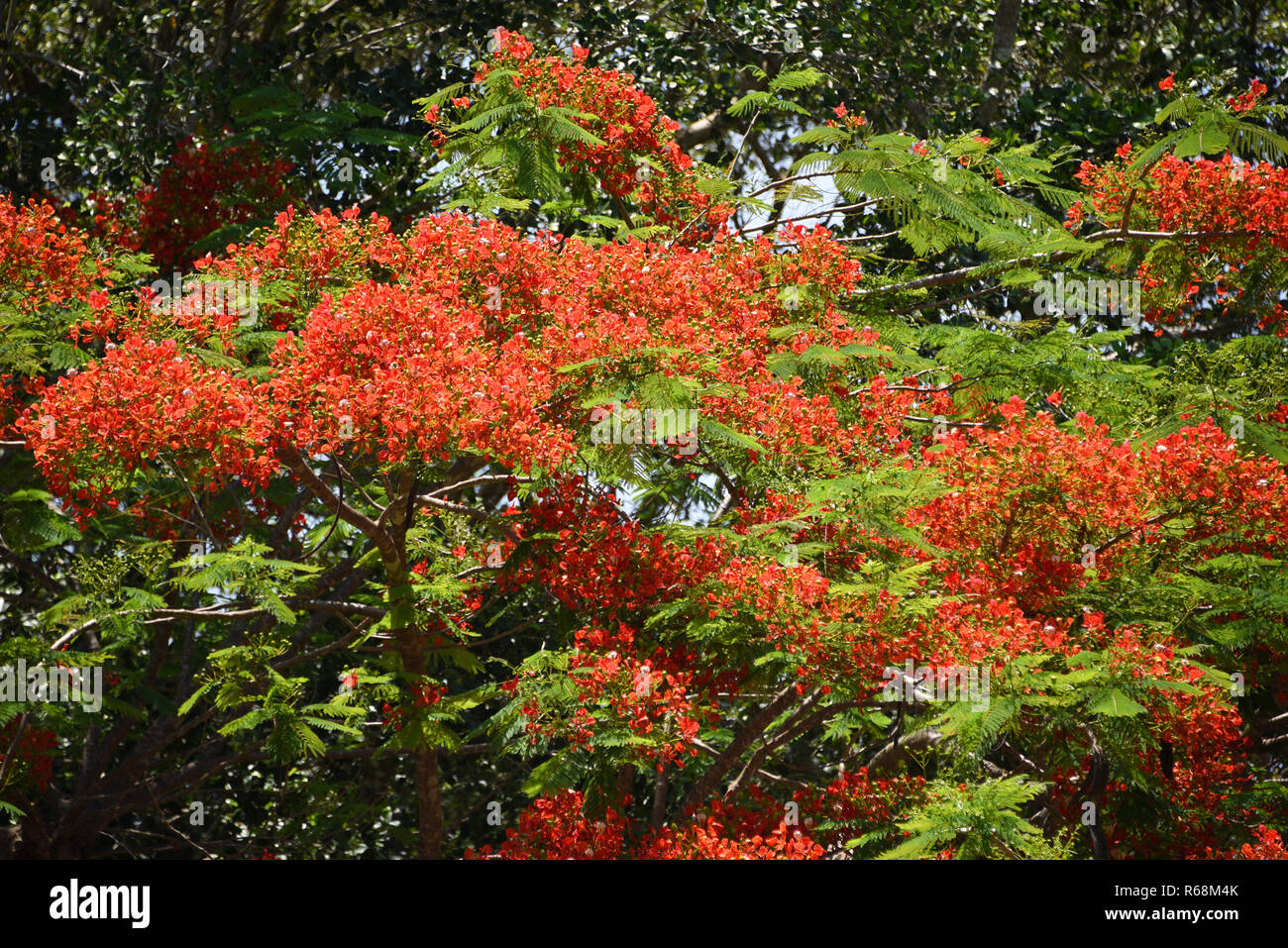 The Poinciana is native to Madagascar.  This tree flowers gorgeous orange blooms all across Queensland, Australia to welcome the coming of Summer. - Stock Image