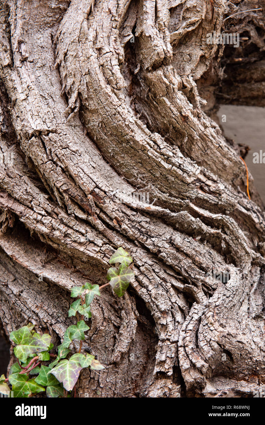 Old strong stem of a grapevine - Stock Image