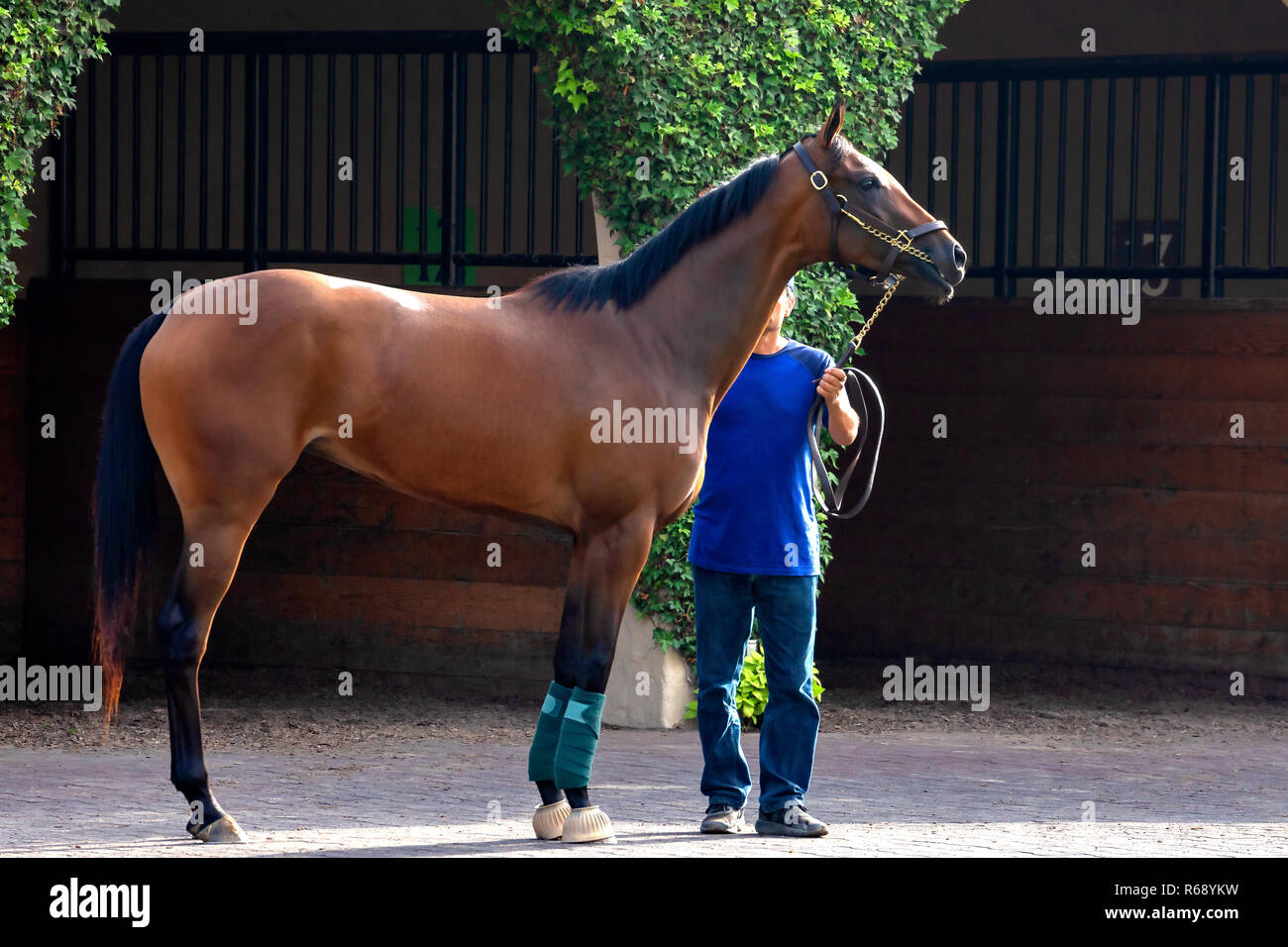 A race horse with male attendant in Del Mar, California - Stock Image