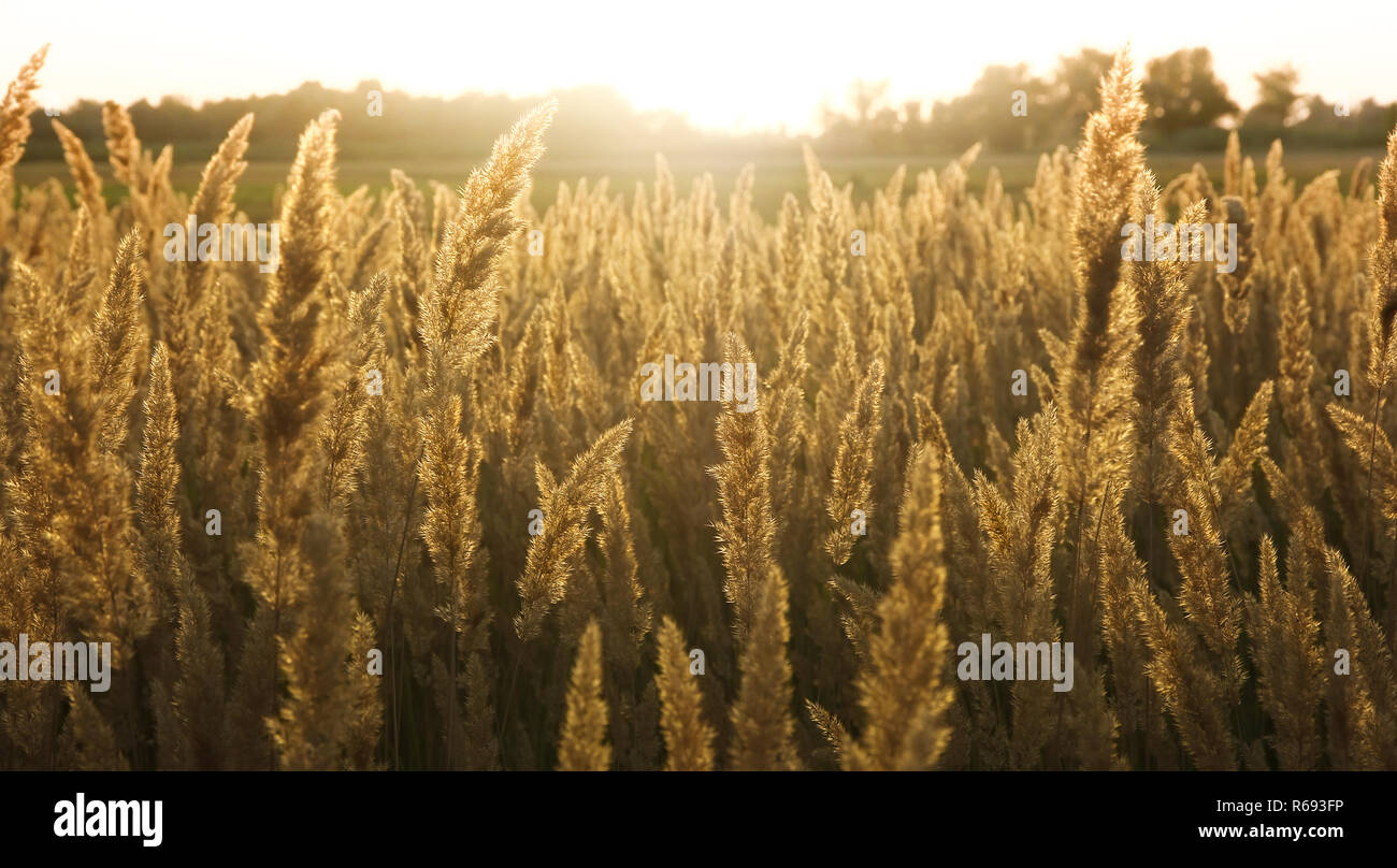 golden ears of corn  backlit in the evening - Stock Image