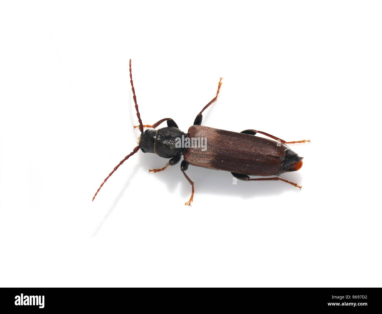 Brown spruce longhorn beetle Tetropium fuscum on white background - Stock Image