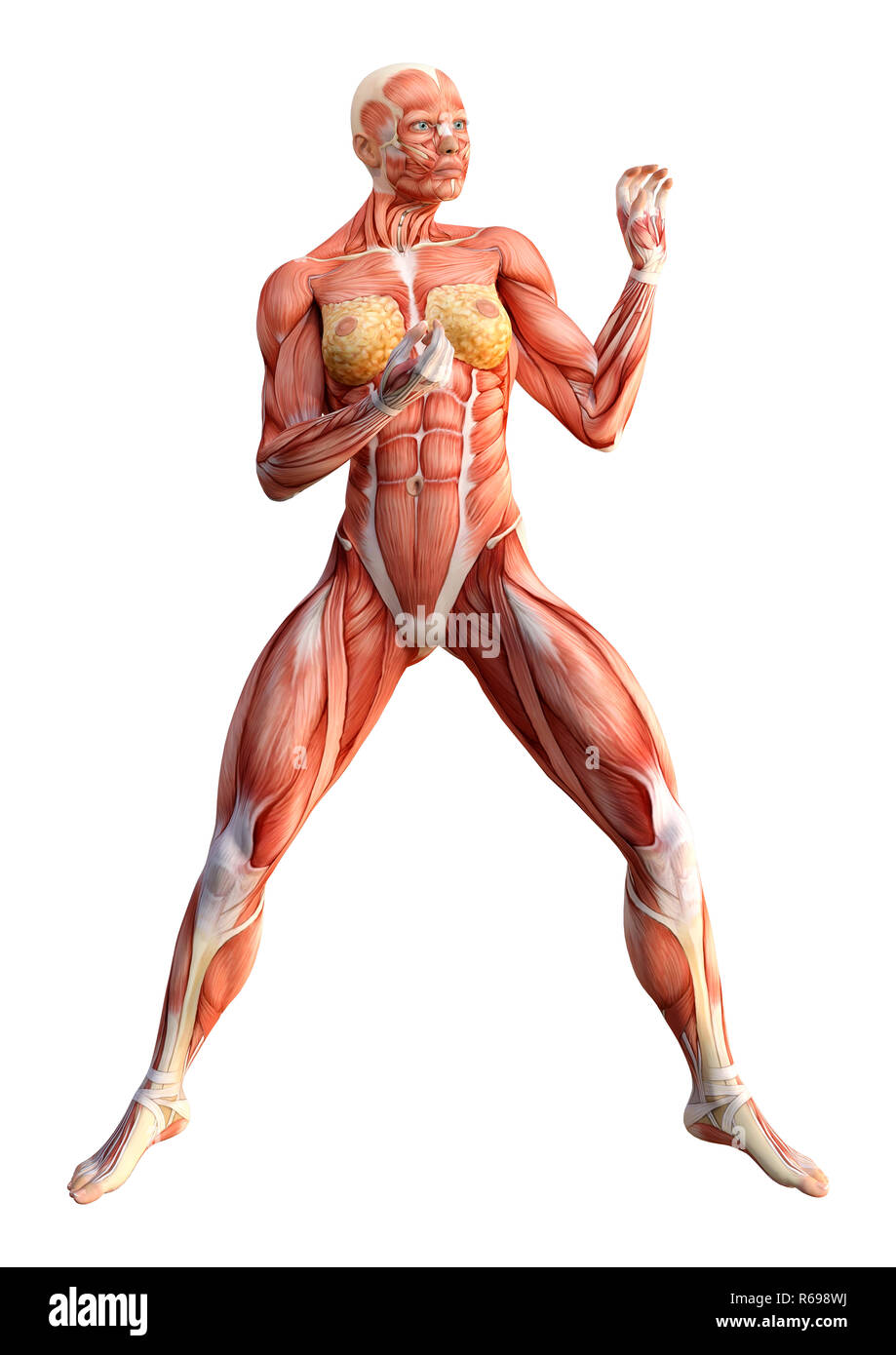 3d Rendering Female Anatomy Figure On White Stock Photo 227627278