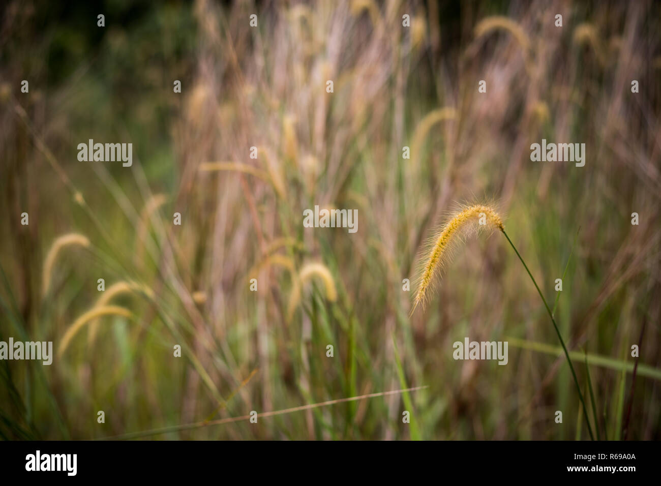 Cogon Grass also known as Lalang with bokeh background - Stock Image