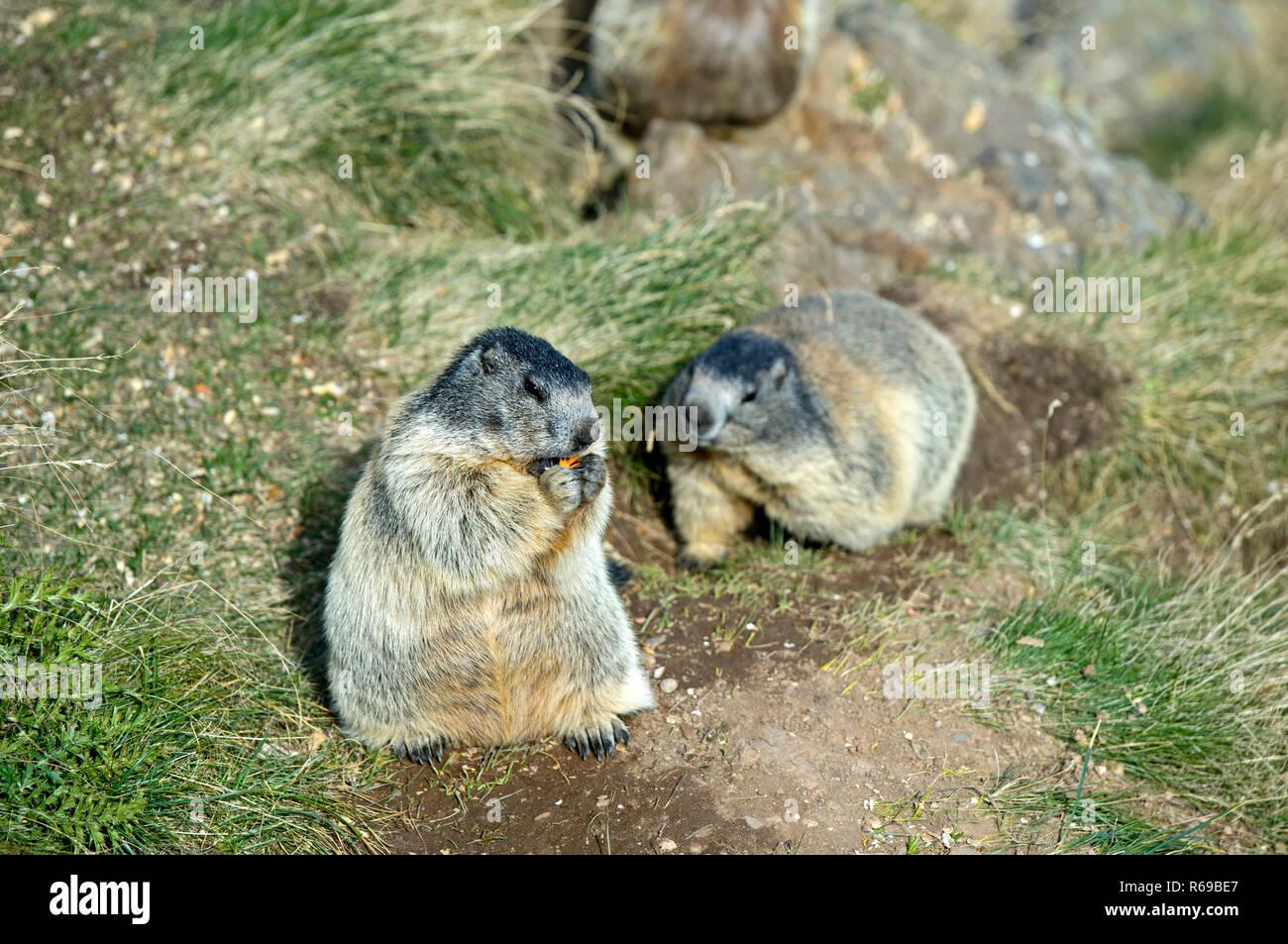 Alpine Marmot Marmota Marmota , Saas-Fee, Valais, Switzerland - Stock Image
