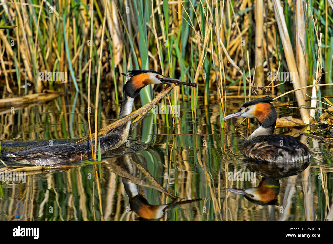 Great Crested Grebe Podiceps Cristatus Bringing Nesting Material To The Nest, Netherlands Stock Photo