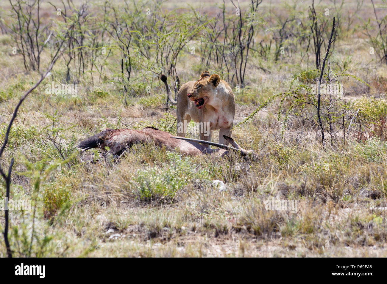 Lion With Killed Antelope, Etosha National Park, Namibia Stock Photo