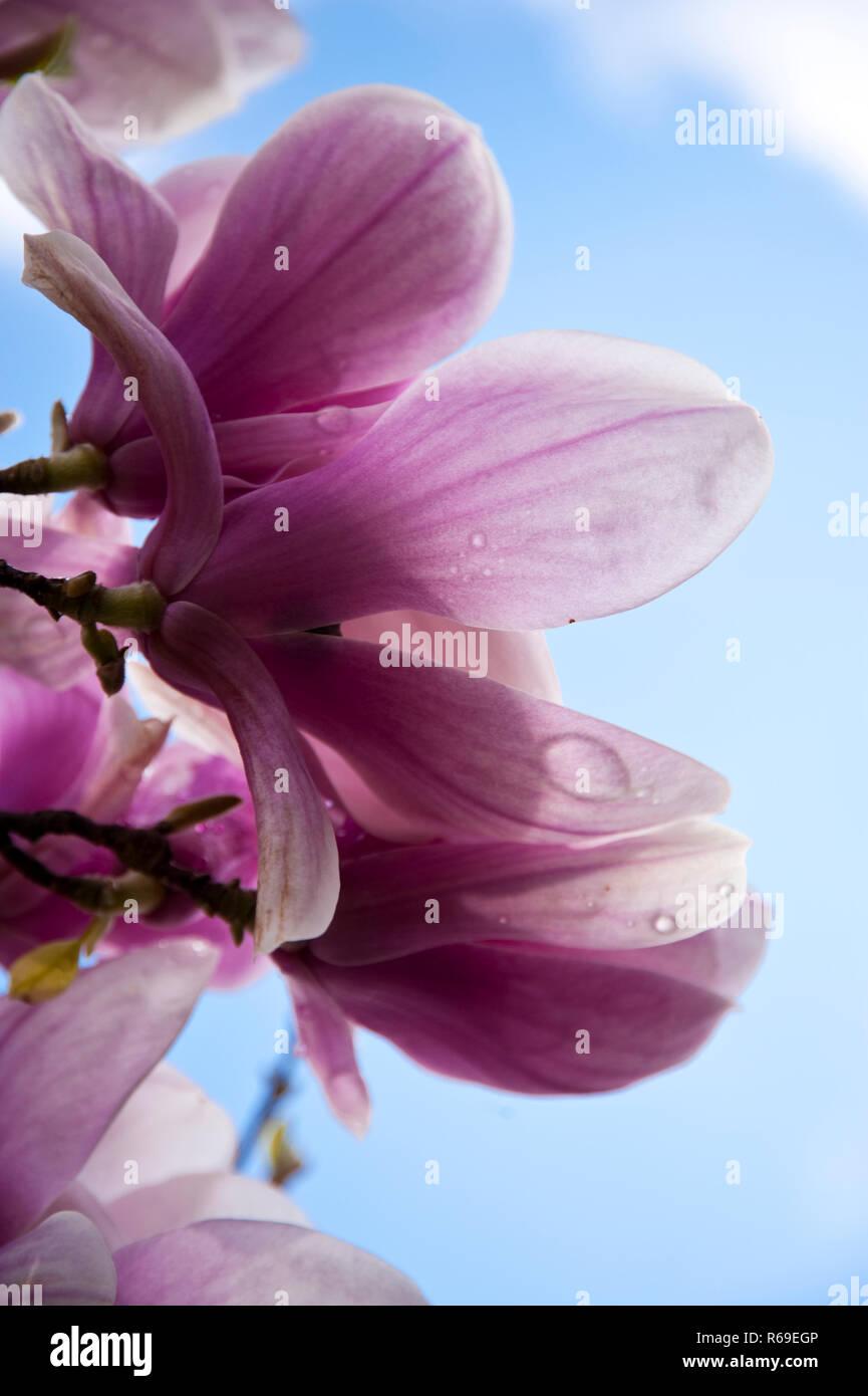 Magnolia Stock Photo