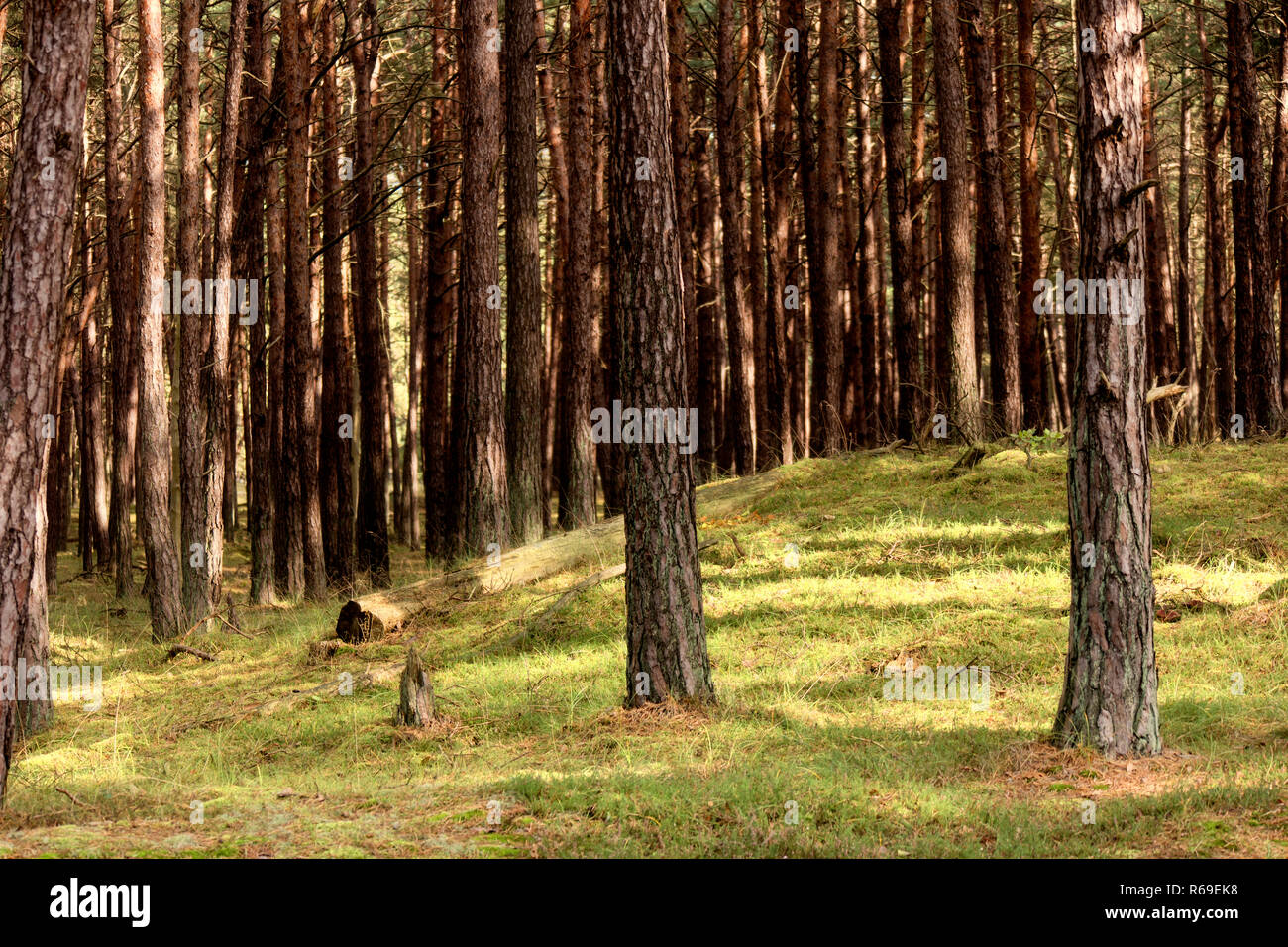 Primeval Forest On Darss In Germany - Stock Image