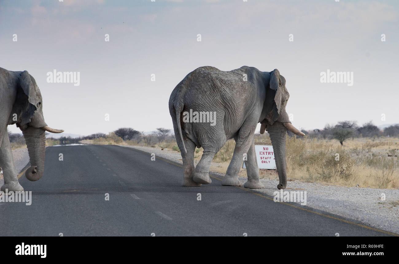 No Entry, Elefanten Überqueren Eine Asphaltstraße Im Etosha Nationalpark, Namibia Stock Photo