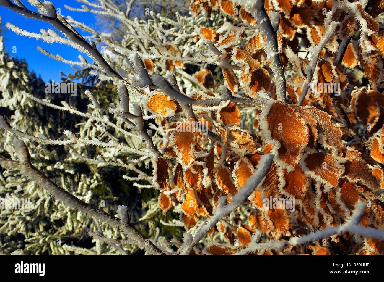 Rauhreif An Blättern Vor Blauem Himmel Stock Photo