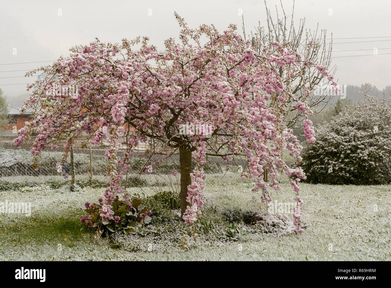 Japanese Cherry In Full Bloom And Also Dusted With Snow - Stock Image