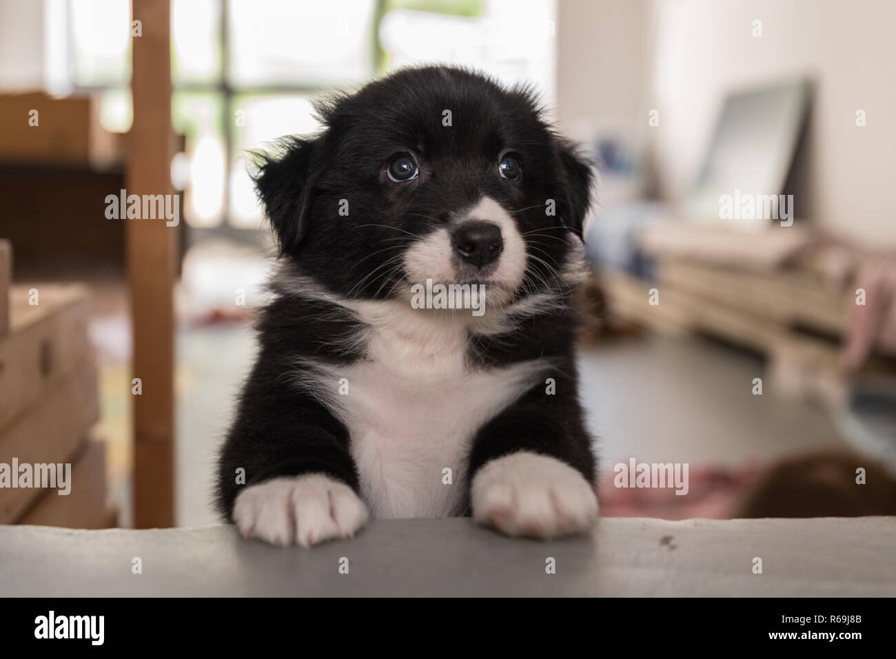 Curiously An Australian Shepherd Looks Beyond His Place Stock Photo